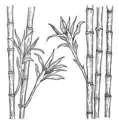 Bamboo stalk and leaves hand drawn engraved vector