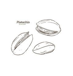 hand drawn pistachios set vector image