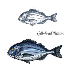 gilt-head bream fish isolated sketch icon vector image