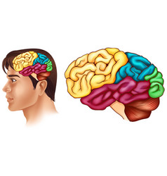 Diagram showing different parts of human brain vector