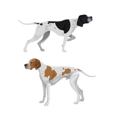 english pointer dogs vector image