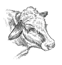 head kind cow hand drawing vector image