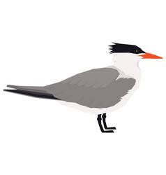 royal tern bird isolated object vector image