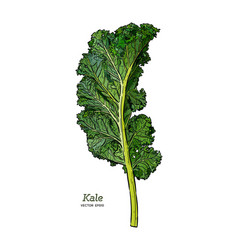 Kale hand draw sketch vegetable vector