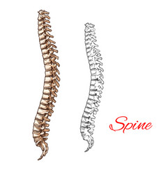 sketch icon human spine bones or joints vector image