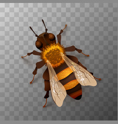 detailed realistic honey bee insect vector image