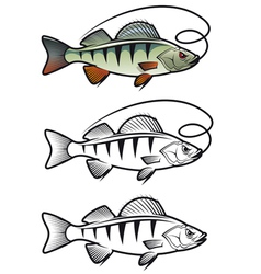Perch fish vector