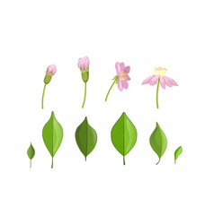 garden flower and leaf growth stages pink flower vector image