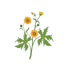 Buttercup Wild Flower Hand Drawn Detailed vector