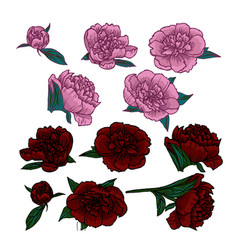 Pink and red peonies heads vector