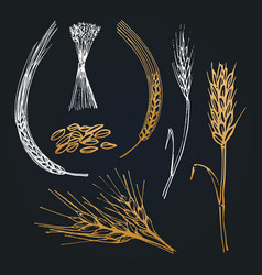 Spikes and ears of wheat barley rye hand drawn vector