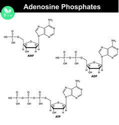 ATP ADP and AMP chemical structures vector image vector image