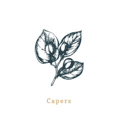 capers sketch drawn spice herb botanical vector image