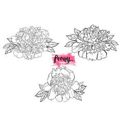 hand drawn peony flower set vector image vector image