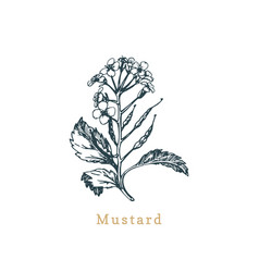 mustard sketchdrawn spicemedicinal herb vector image