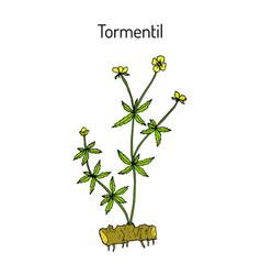 Tormentil potentilla erecta medicinal plant vector