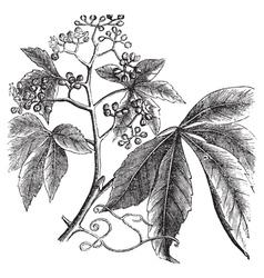 Virginia Creeper engraving vector image vector image