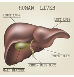The human liver anatomy vector