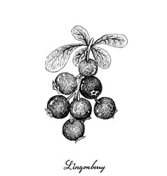 Berry fruit hand drawn sketch of jostaberries vector