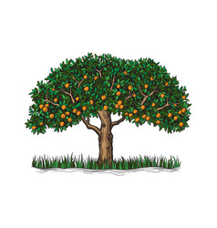 The isolated orange tree with mature fruits vector