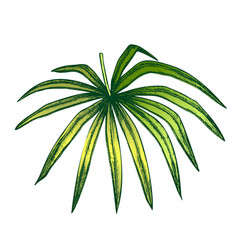 thrinax radiata exotic leaf color hand drawn vector image