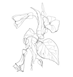 Bindweed flowers vector image vector image