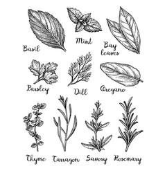 Ink sketch of herbs vector