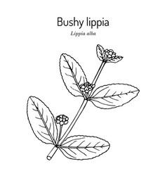 Bushy lippia or pitiona lippia alba medicinal vector