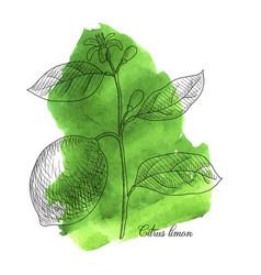 drawing lemon branch vector image