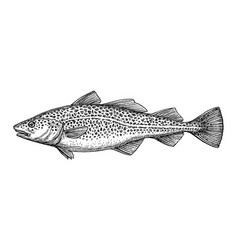 ink sketch of cod fish vector image