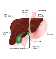 Liver gallbladder esophagus stomach and duodenu vector image vector image