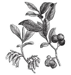 Huckleberry engraving vector image