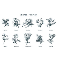 drawn spices and herbs set botanical vector image