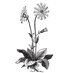 Arnica montana flower vector image vector image