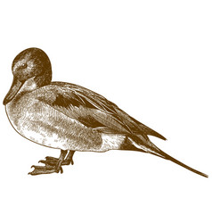 engraving drawing of northern pintail vector image