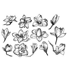 Magnolia flowers in engraving style vector