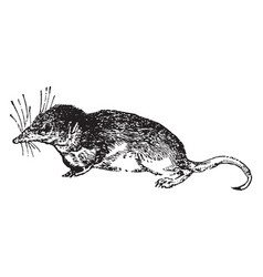 Shrew vintage vector