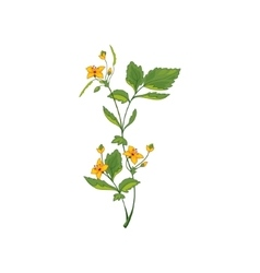 Celandine Wild Flower Hand Drawn Detailed vector image