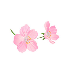 blooming gentle pink spring flowers of cherry or vector image