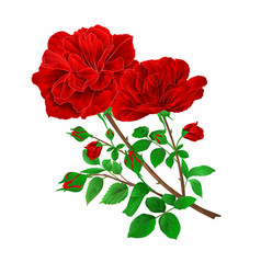 bouquet red roses and rosebuds festive vector image