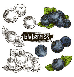 Blueberry hand drawn set vector
