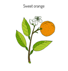 Sweet orange twig with flowers vector