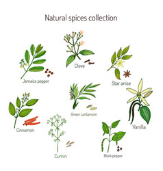 natural spices collection vector image vector image