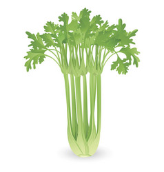 bunch of celery vector image