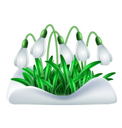 Spring white flowers of snowdrops vector