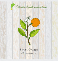 sweet orange essential oil label aromatic plant vector image