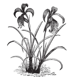 Belladonna lily engraving vector