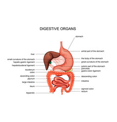 Organs digestion anatomy vector