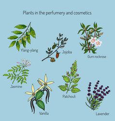 Plants in perfumery and cosmetic vector