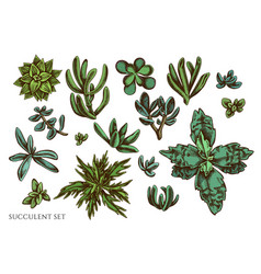 set hand drawn colored succulent vector image